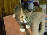 Domestic Short Hair - Gray and white - Seth - Large -