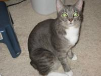 Domestic Short Hair - Gray and white - Silk - Medium -
