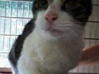 Domestic Short Hair - Gray and white - Skye - Small -