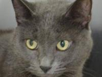 Domestic Short Hair - Gray and white - Smokey - Large -