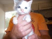 Domestic Short Hair - Gray and white - Smudge - Large -