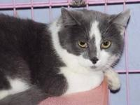 Domestic Short Hair - Gray and white - Spice - Medium -