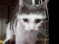 Domestic Short Hair - Gray and white - Spooky - Large -
