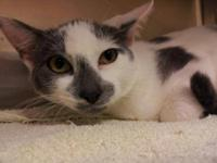 Domestic Short Hair - Gray and white - Stephanie -