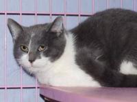 Domestic Short Hair - Gray and white - Sugar - Medium -