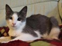 Domestic Short Hair - Gray and white - Sugar Pop -
