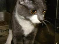 Domestic Short Hair - Gray and white - Tiny - Medium -