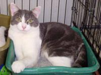 Domestic Short Hair - Gray and white - Tommy - Large -
