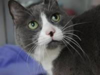 Domestic Short Hair - Gray and white - Trudie - Medium