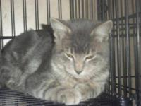 Domestic Short Hair - Gray and white - Tucker - Large -
