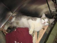 Domestic Short Hair - Gray and white - Tulia - Medium -
