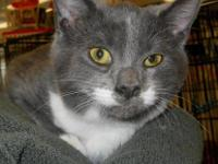 Domestic Short Hair - Gray and white - Tux And Jazz -