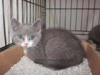 Domestic Short Hair - Gray and white - Victoria -