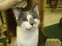 Domestic Short Hair - Gray and white - Warren - Large -