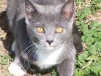Domestic Short Hair - Gray and white - Willie - Medium