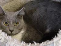 Domestic Short Hair - Gray and white - Willow - Large -