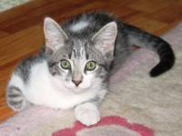 Domestic Short Hair - Gray and white - Winter - Small -