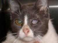 Domestic Short Hair - Gray and white - Zeus - Large -