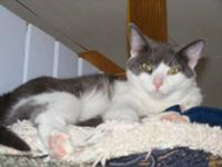 Domestic Short Hair - Gray and white - Zoe - Medium -