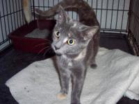 Domestic Short Hair - Gray - Anna - Medium - Young -