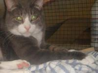 Domestic Short Hair - Gray - Bailey - Small - Adult -