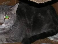 Domestic Short Hair - Gray - Bell - Small - Adult -