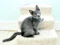 Domestic Short Hair - Gray - Bella - Medium - Young -