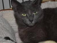 Domestic Short Hair - Gray - Blair - Medium - Young -
