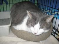 Domestic Short Hair - Gray - Candy - Large - Senior -