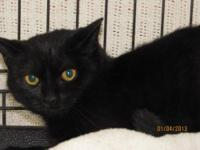 Domestic Short Hair - Gray - Coal - Medium - Adult -