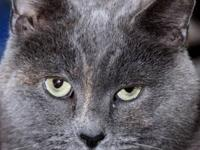 Domestic Short Hair - Gray - Culvert - Small - Adult -