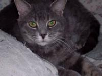 Domestic Short Hair - Gray - Dusty - Small - Young -