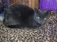 Domestic Short Hair - Gray - Earl Gray - Medium - Young