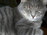 Domestic Short Hair - Gray - Festus - Medium - Young -