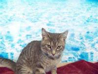 Domestic Short Hair - Gray - Flatt - Medium - Adult -