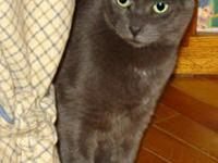 Domestic Short Hair - Gray - Ghost - Large - Adult -