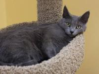 Domestic Short Hair - Gray - Heather - Medium - Young -