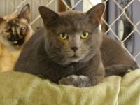 Domestic Short Hair - Gray - Jasmine - Large - Adult -