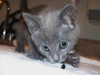Domestic Short Hair - Gray - Jasper - Medium - Baby -