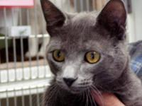 Domestic Short Hair - Gray - John - Medium - Adult -
