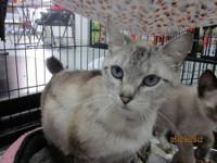 Domestic Short Hair - Gray - Juniper - Medium - Baby -