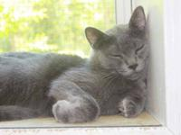 Domestic Short Hair - Gray - Kemuri - Medium - Adult -
