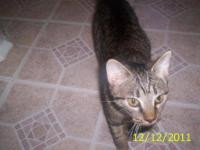Domestic Short Hair - Gray - Kitty - Small - Young -