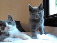 Domestic Short Hair - Gray - Lilac - Medium - Baby -