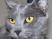 Domestic Short Hair - Gray - Mugsie - Medium - Adult -