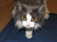 Domestic Short Hair - Gray - Pixie - Small - Baby -