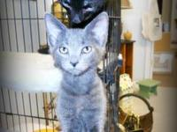 Domestic Short Hair - Gray - Rosey - Medium - Young -
