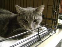 Domestic Short Hair - Gray - Rosie - Medium - Adult -
