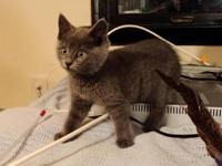 Domestic Short Hair - Gray - Rosie - Medium - Baby -