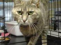 Domestic Short Hair - Gray - Sahara - Medium - Adult -